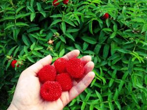 Земляничная малина в Беларуси