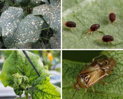 Вредители огурцов (тыквенных): огуречный комарик, клопик и др.